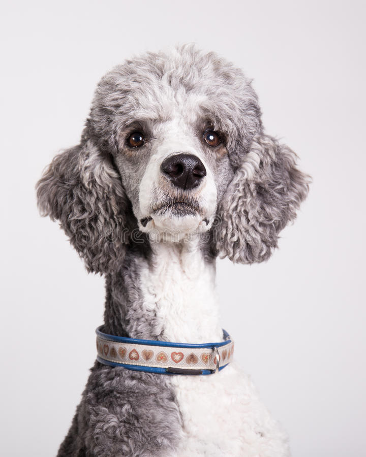 Standard poodle portrait. Against white background stock photography
