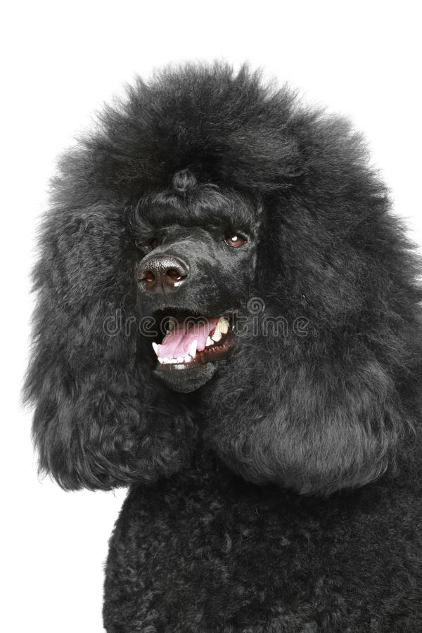 Download Standard Poodle Portriat Royalty Free Stock Photo - Image: 22712445