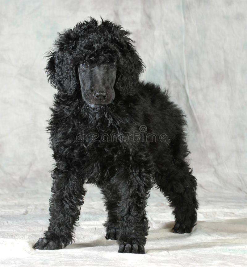 Standard poodle puppy. Standing on green background - 8 weeks old stock photography