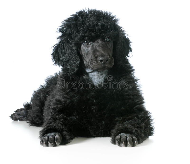 Standard poodle puppy. Laying down on white background royalty free stock photos