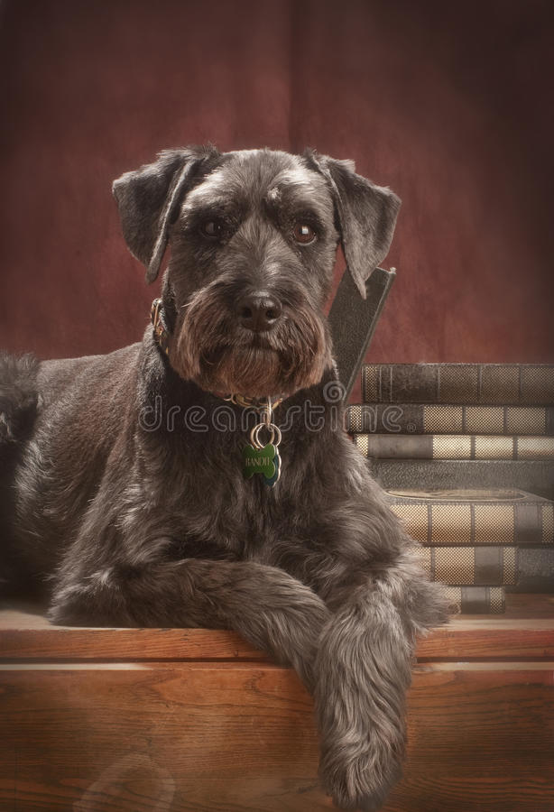 Standard schnauzer. A close shot of a standard schnauzer, lying on an old table in front of a red-brown studio background with a few books behind him stock photos