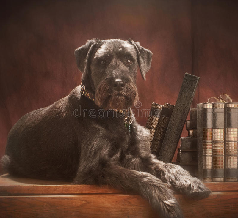 Standard schnauzer;. A standard schnauzer, lying on an old table in front of a red-brown studio background with a few books behind him horizontal shot stock images