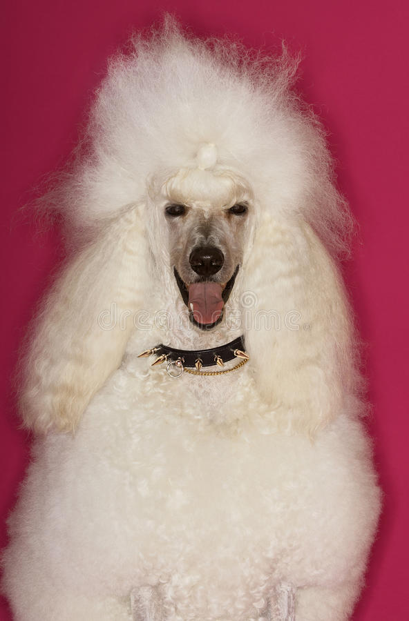 Standard White Poodle. White Standard Poodle sitting on pink background stock photography
