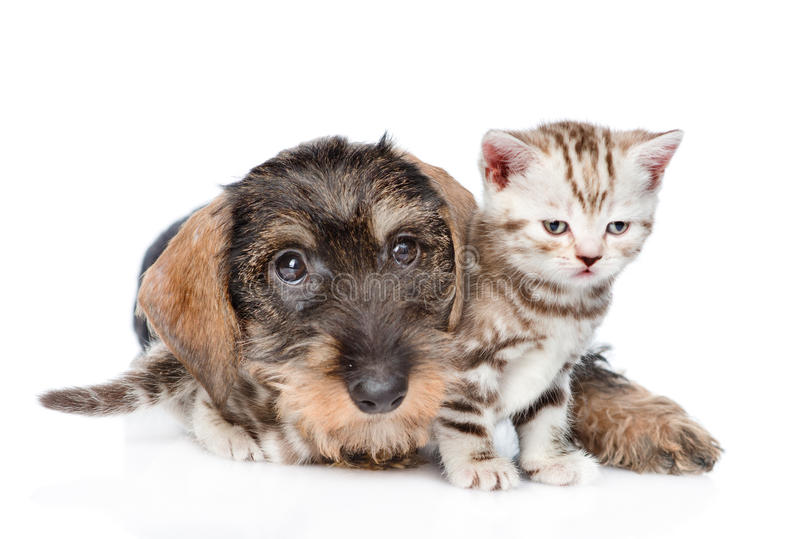 Standard wire-haired dachshund puppy embracing tiny kitten. isolated on white background.  stock photos