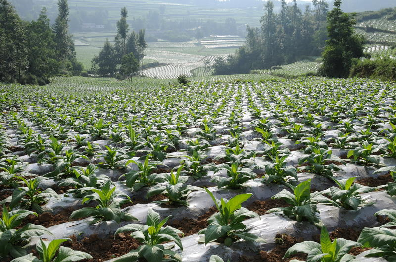 Standardization of flue-cured tobacco planted royalty free stock photos