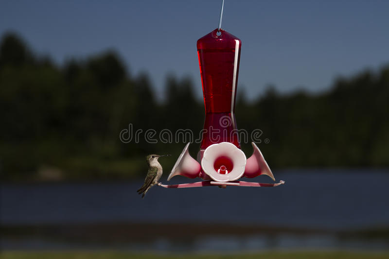 Download Standby for sip stock photo. Image of flying, archilochus - 27435462