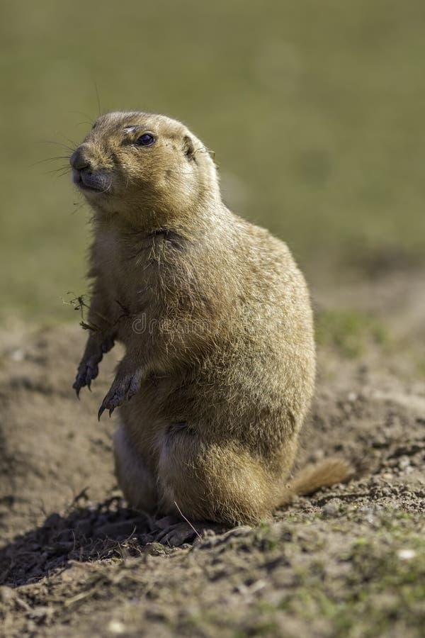 Standi de cola negra del ludovicianus del Cynomys del perro de las praderas o de la marmota fotografía de archivo