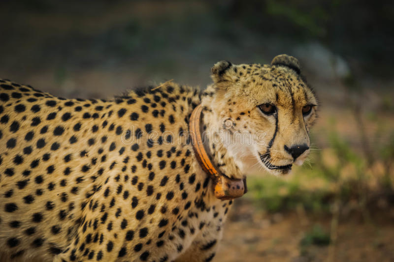 Standing African cheetah royalty free stock images