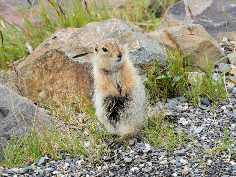 Standing Arctic ground squirrel - Denali National Park - Alaska. Standing Arctic ground squirrel - the largest and most northern of the North American ground royalty free stock images