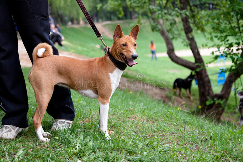 Standing Basenji stock photos