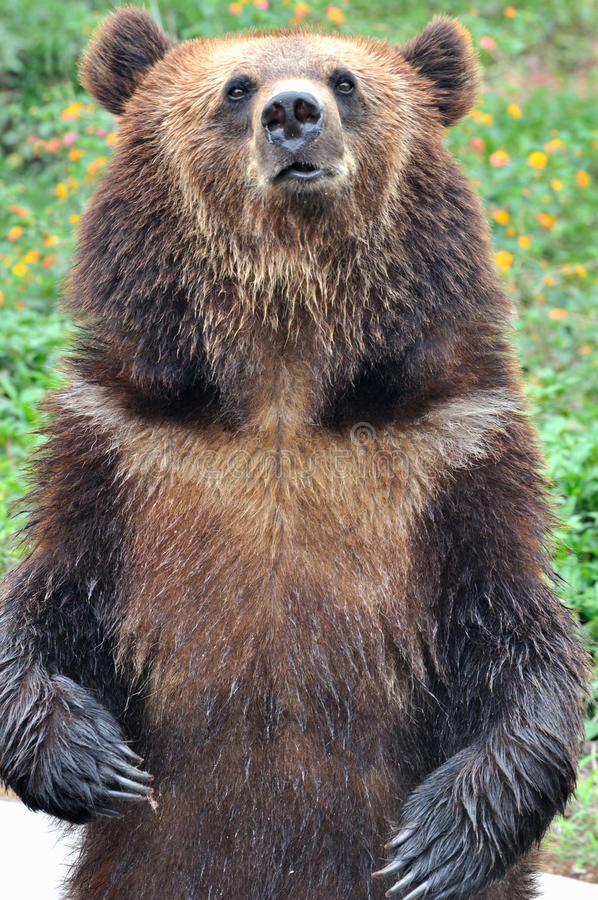 Standing bear with flower field background