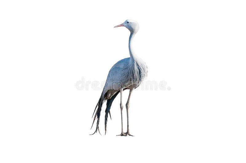 Standing Blue Crane isolated on white. A Blue Crane, Grus paradisea, isolated on white. it is an endangered bird specie endemic to Southern Africa. It is the royalty free stock photo