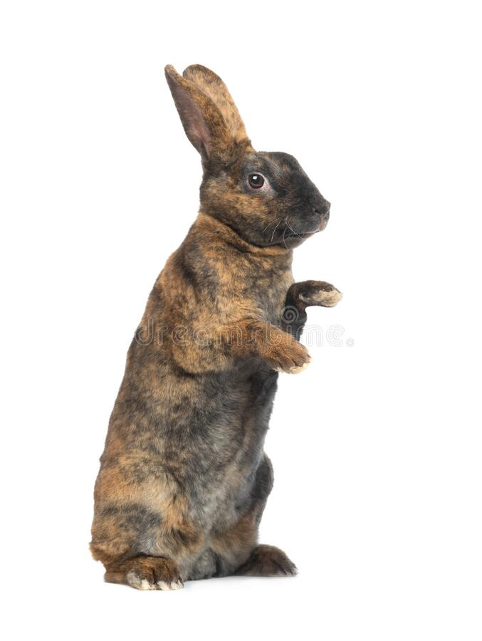 Free Standing Brown Rabbit Isolated On A White Royalty Free Stock Photo - 182014715