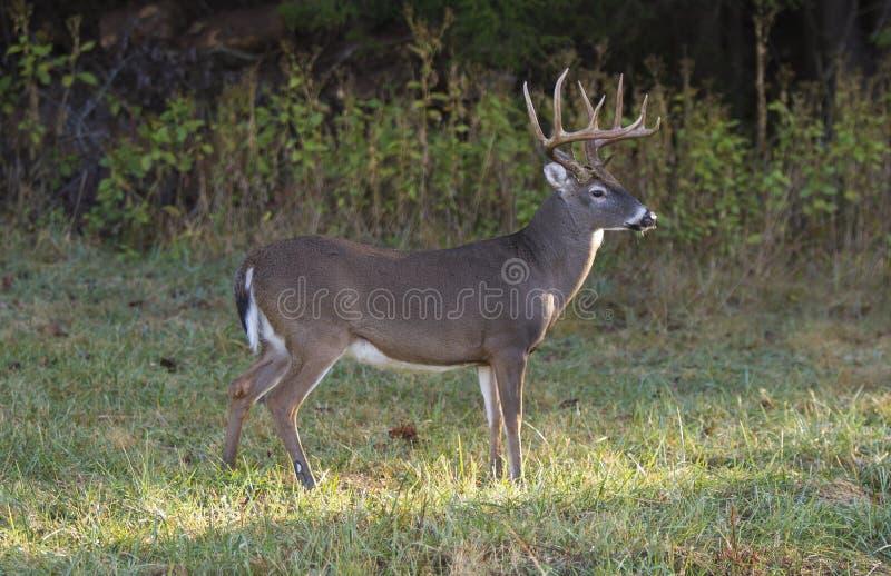 Standing Buck deer stock image