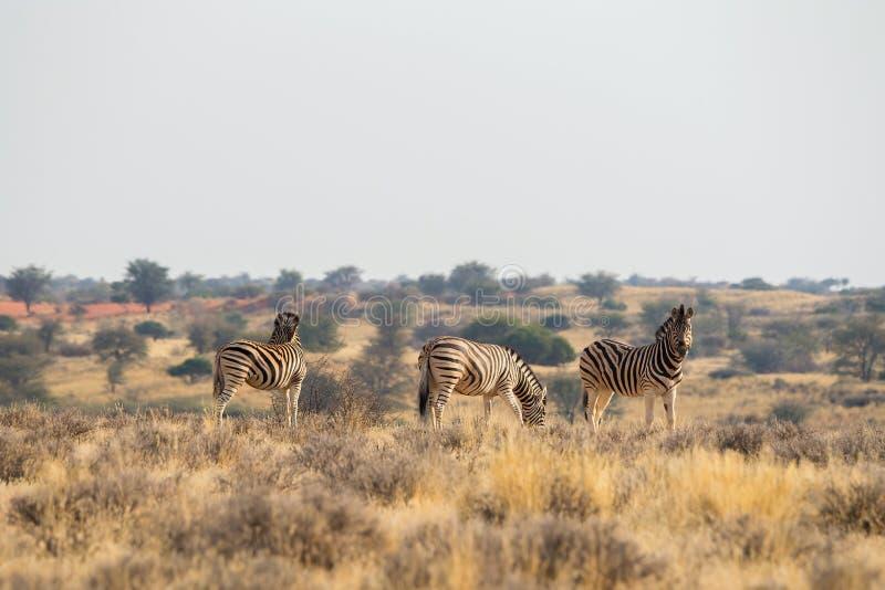 3 standing Burchell`s zebra in the grasslands in Kalahari desert stock photo