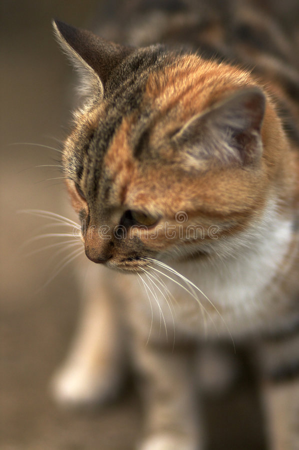 Standing cat royalty free stock photography