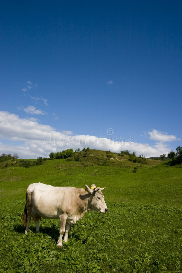 Standing Cow royalty free stock image