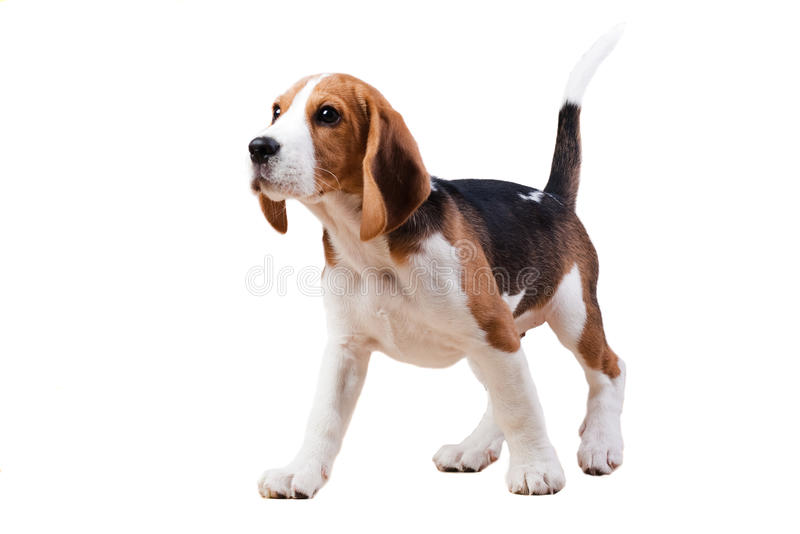 Standing dog. royalty free stock photography