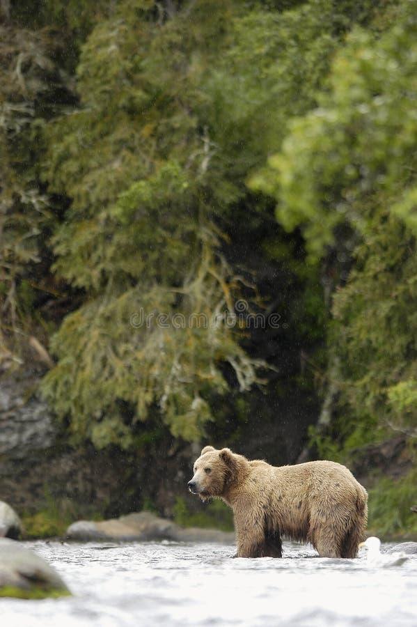 standing för flod för björnbäckar brun royaltyfri foto