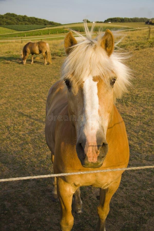 standing för sida för hästar för landsfältgreen royaltyfria bilder