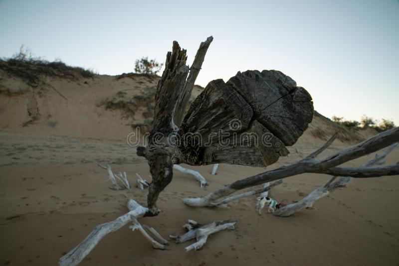 Standing firm. In the sand is this large driftwood. It`s illegal to take driftwood from the beach, some still do take the wood. No-one was going to discreetly royalty free stock images