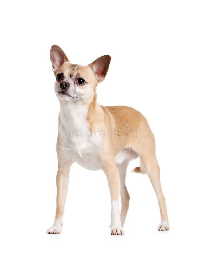 Standing On Four Paws Chihuahua Dog Royalty Free Stock Photography