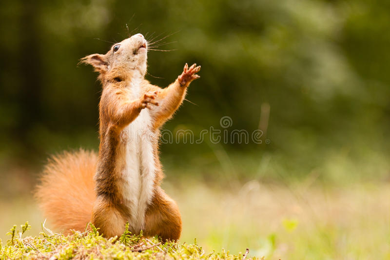 Standing ginger squirrel stock image