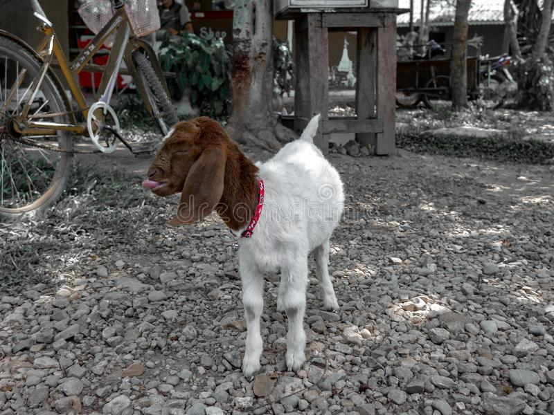 A standing goat kids, goats feeding on the farm royalty free stock photo