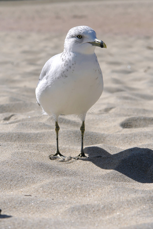 Standing Gull Royalty Free Stock Images