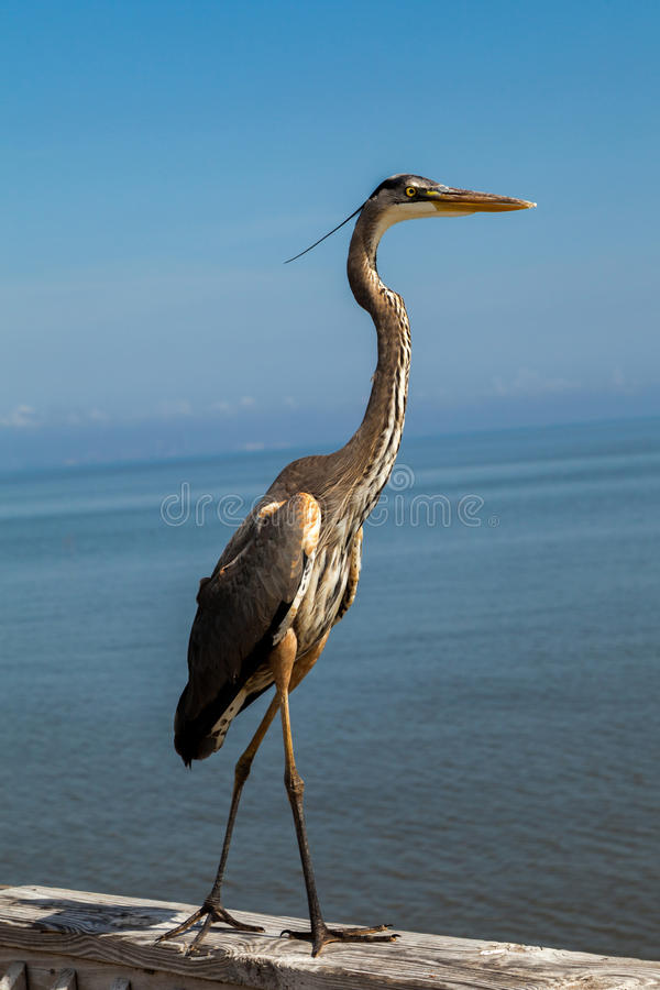 Standing Heron. Heron standing on a pier with ocean in the background stock photography