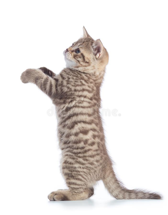 Standing kitten cat side view isolated on white stock photo