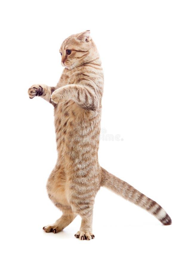 Download Standing Kitten Or Cat  Striped Like Godzilla Stock Image - Image: 19026941
