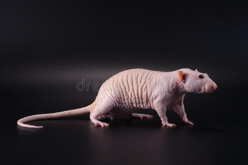 Standing male hairless rat Dumbo Sphynx breed. Showing pose standing male hairless rat Dumbo Sphynx breed on black. No isolated royalty free stock images