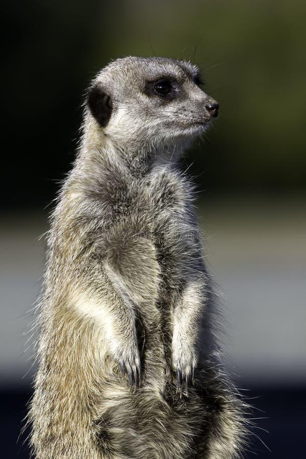 Download Standing Meercat stock photo. Image of meerkat, standing - 12563832