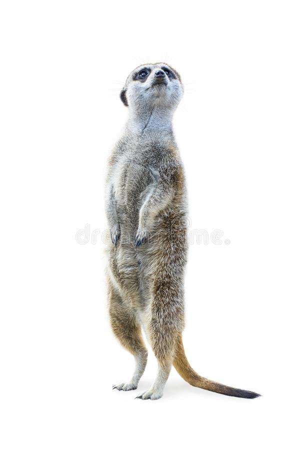 Free Standing Meerkat Isolated Royalty Free Stock Images - 127474919