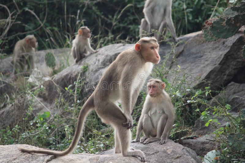 Standing Monkey by krish. Family of Mokeys.and Head of The Monkey Family is Standing royalty free stock image