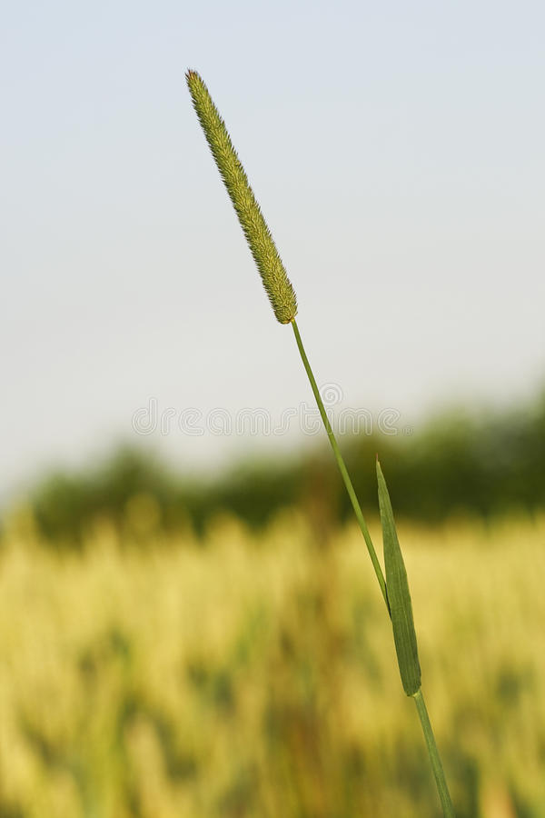 Download Standing out in the crowd stock image. Image of barley - 12324373