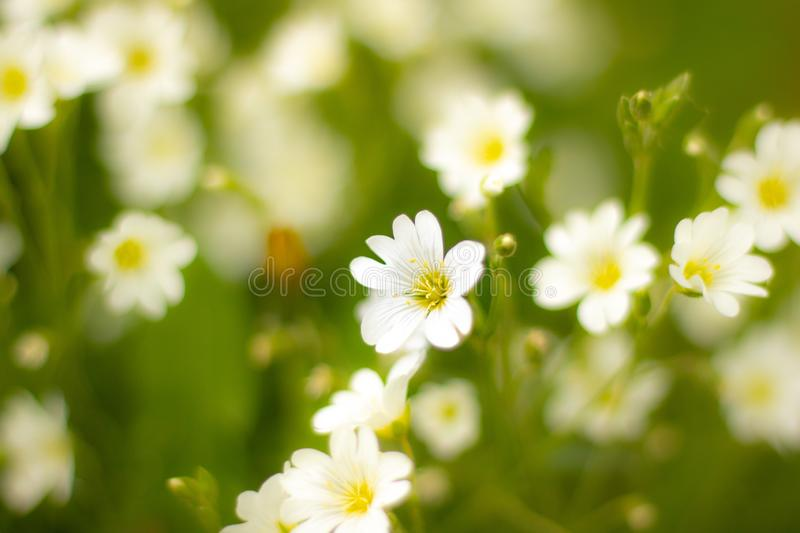 Standing out white flower. Standout white flower in germany stock photos