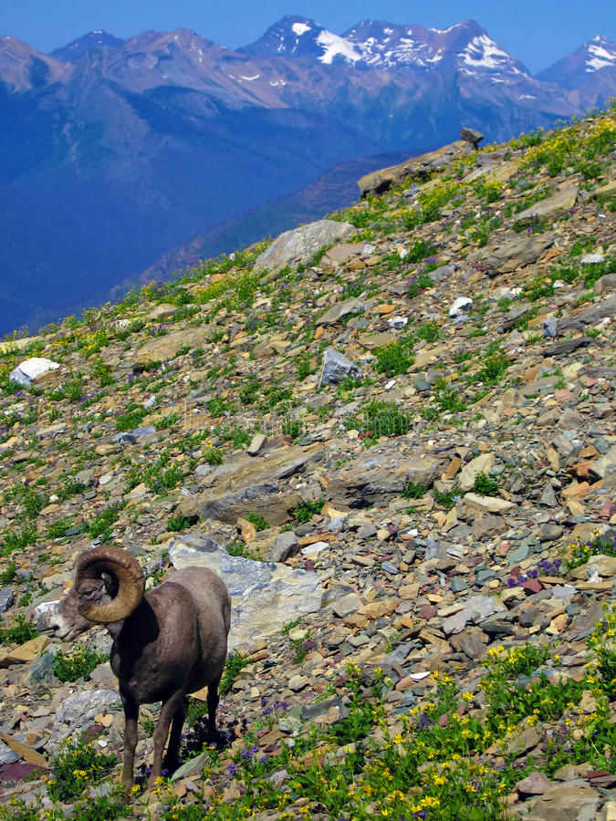 Standing Pat. Big-Horned Sheep, Continental Divide, Glacier National Park, Montana royalty free stock photos