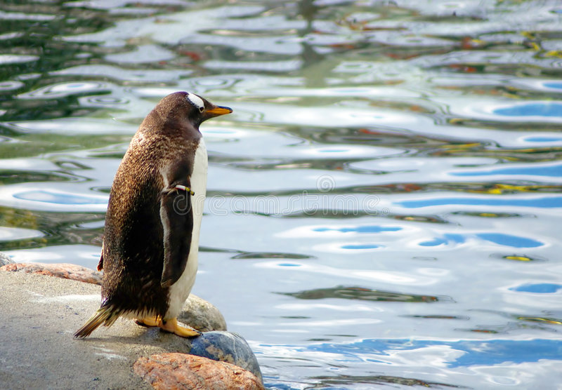 Standing penguin. A penguin getting ready to swim, standing on the edge of a rock royalty free stock photos