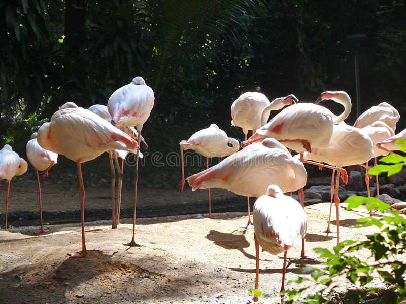 Standing pink flamingos stock images