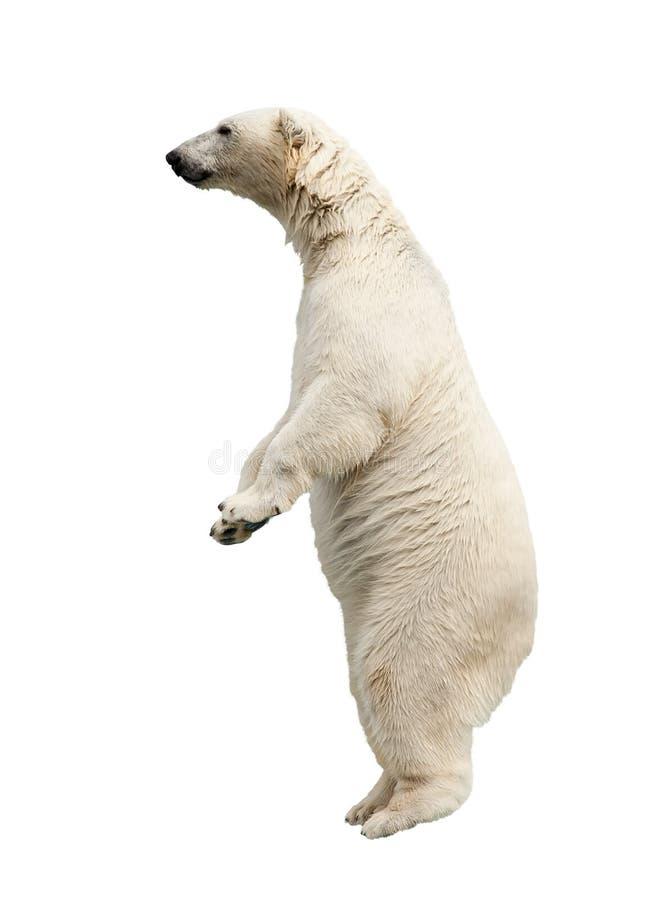 Standing polar bear royalty free stock image