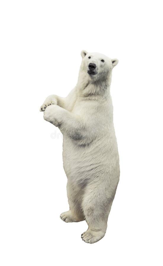 Standing polar bear over white background stock image