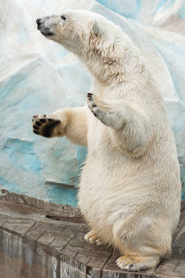 Standing polar bear. A polar bear stands on hind legs stock photo
