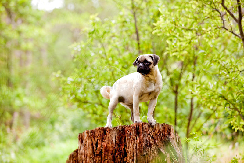 Standing pug puppy. Tan pug puppy in a green forest royalty free stock image