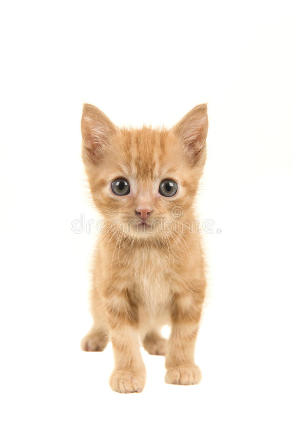 Standing red ginger baby cat walking towards the camera stock photos