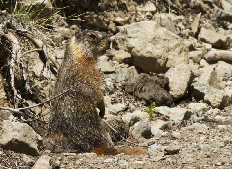 Download Standing rock chuck stock photo. Image of rodents, chuck - 32205428