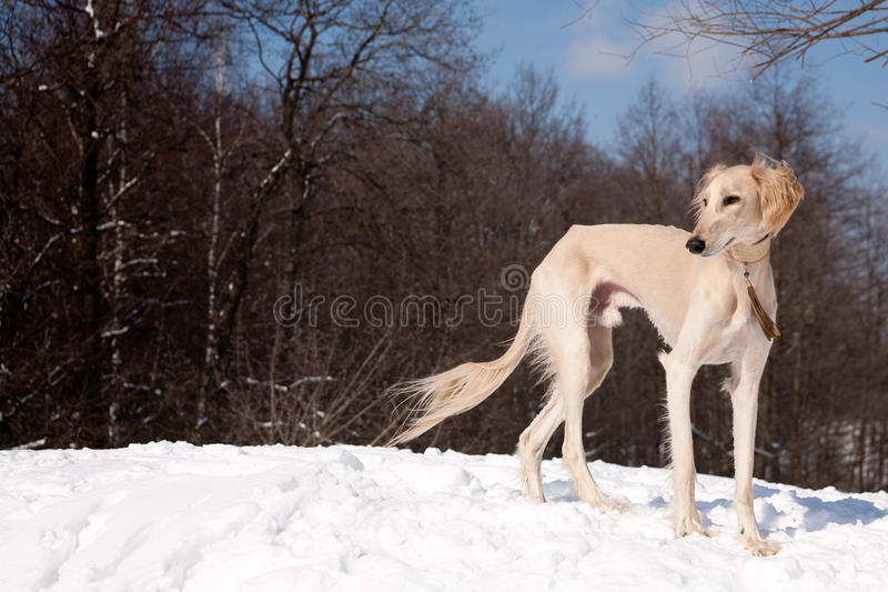 Standing saluki. A standing white saluki on snow stock images