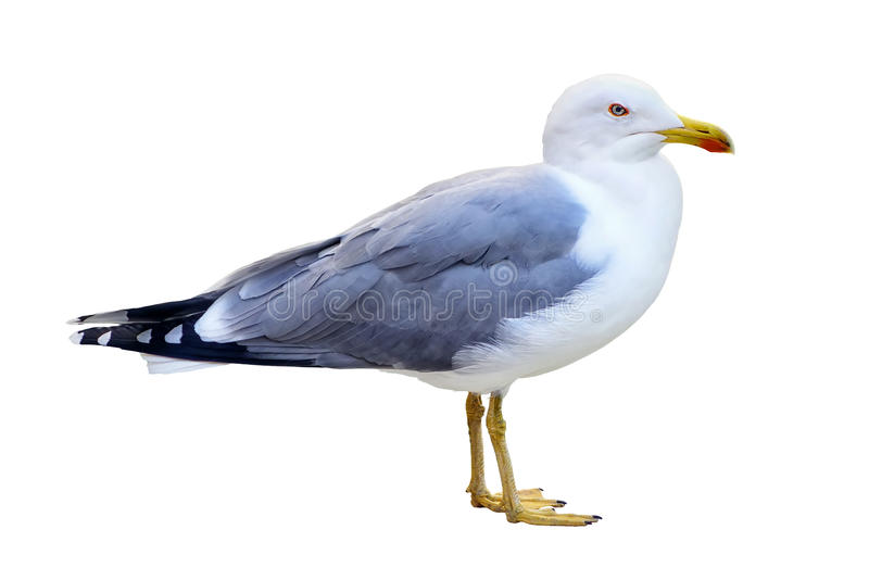 Standing Seagull isolated royalty free stock photography