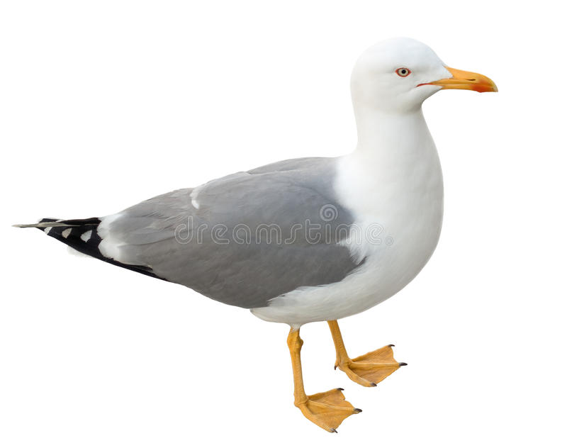 Standing seagull, isolated on white royalty free stock photo